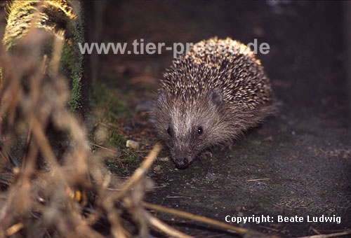 Igel, Winteraktivit�t / Western hedgehog, active in winter / Erinaceus europaeus