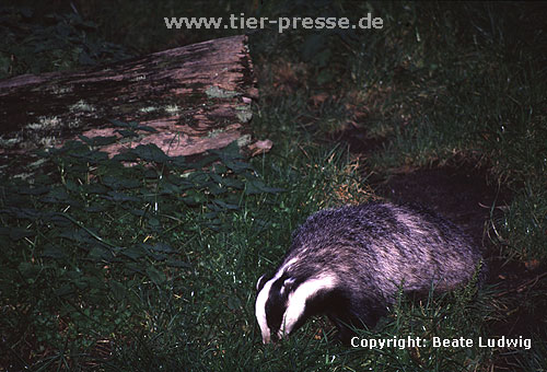 Europ�ischer Dachs / European Badger