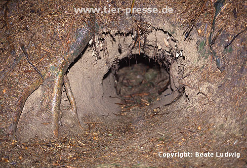 Europ�ischer Dachs: Eingang zum Bau / European Badger: Burrow, entrance