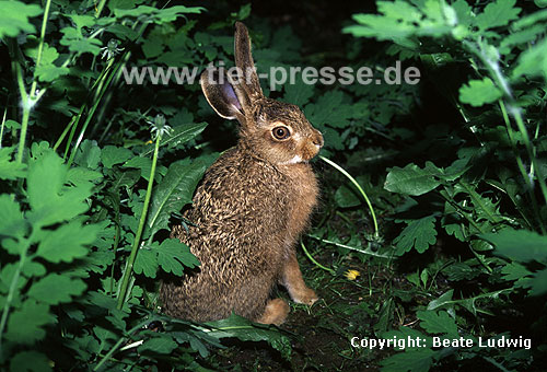 Junger Europ�ischer Feldhase, fressend / Young Brown hare, eating