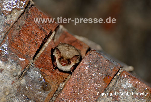 Gro�es Mausohr (Myotis myotis) im Winterquartier, Kellergew�lbe / Greater mouse-eared bat (Myotis myotis) in winter-quarter