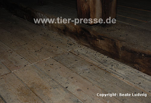 Gro�es Mausohr (Myotis myotis) Kot auf einem Dachboden, Wochenstuben-Quartier / Greater mouse-eared bat (Myotis myotis), droppings at an attic
