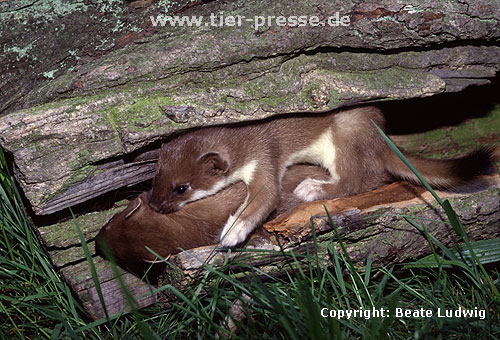 Spielende junge Hermeline / Young stoats, playing