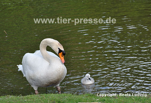 H�ckerschwan, Vater mit Jungvogel / Mute swan, father and youn / Cygnus olor