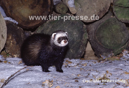 Iltis-F�he im Winter / Polecat, female in winter