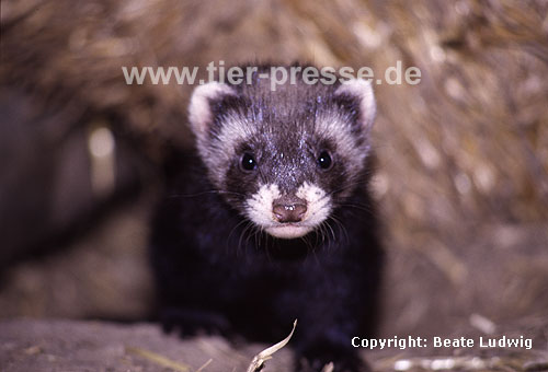 Iltis, junges Tier / Polecat, young animal
