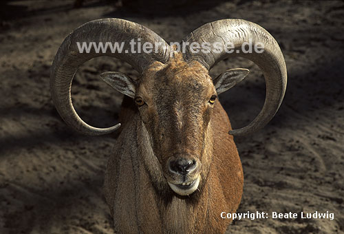 M�hnenspringer, M�hnenschaf / Barbary sheep