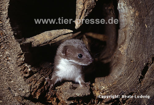 Junges Mauswiesel / Weasel, young