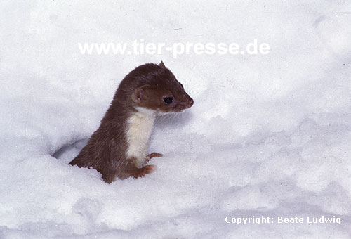 Mauswiesel im Schnee / Weasel in the snow
