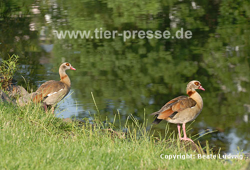 Nilg�nse am Ufer / Egyptian geese, bank / Alopochen aegyptiacus