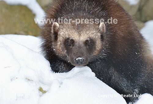 Vielfa� im Winter (Gulo gulo) / Wolverine in winter (Gulo gulo)